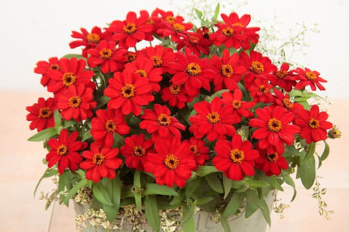 Zinnia (Profusion Red)