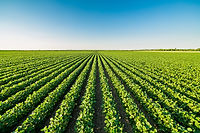 Green ripening soybean field, agricultur