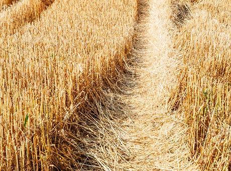 83456167-wheat-stubble-in-wheat-field.jp