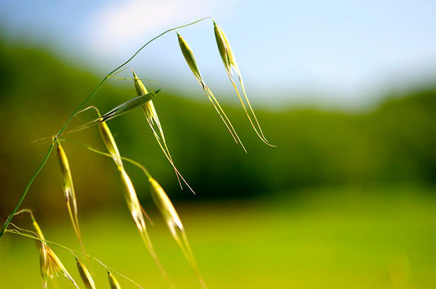 oats-field-closeup.jpg
