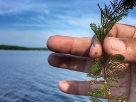 Eurasian Milfoil still hanging around Sudbury lakes
