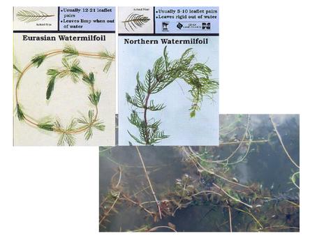 Watermilfoil - Eurasian vs. Northern