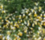 fresh camomile flowers_edited_edited.jpg