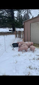 Swine Weigh-In 7.jpg