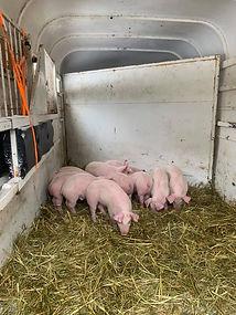 Swine Weigh-In 6.jpg