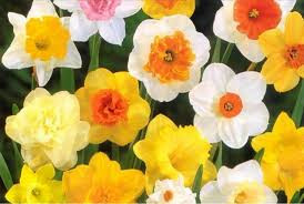 Jonquil Donors ($101.00-$499.00)