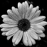 donor daisy.jpg