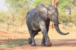 Young African Elephant