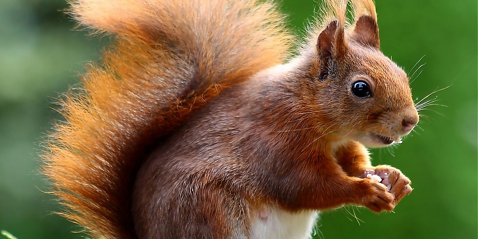 Snaizeholme Red Squirrels