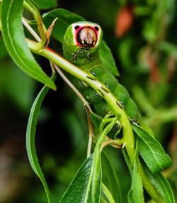 Extraordinary puss moth caterpillar