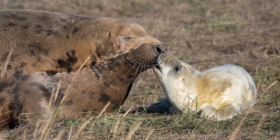 Seals at Ravenscar Beach