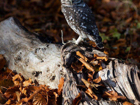 Out and About - Owl Photography