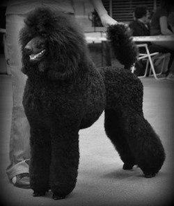 caniche royal noir 5