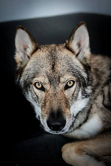 Dresseur de loups et de chiens pour les spectacles animalier, le théâtre, le cinéma, l'événementiel et les fêtes médiévales. Spécialisé le chien loup Tchécoslovaque et les chiens domestiques pour les tournages.