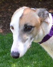 Greyhound_Pocono_Lady-big.jpg