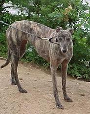 Greyhound_WVs_Granny-big.jpg