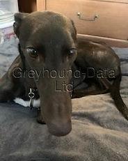 Greyhound_Fiesta_Nancy-big.jpg