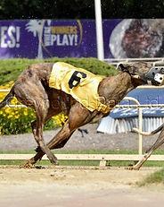 Greyhound_Flying_Derby_Dog-big.jpg