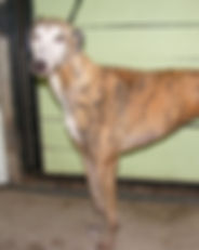 Greyhound_Lobo_Maggie-big.jpg