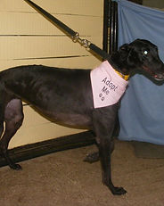 Greyhound_Hilda_Hambone-big.jpg