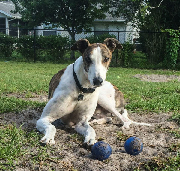 Dader now lives in Florida after he was adopted following a nice career in greyhound racing.