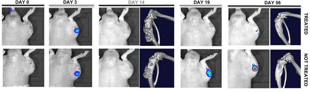 IVIS and Micro-CT images of infected rats receiving single treatment dose of vancomycin (top row) or single saline placebo dose (bottom row).