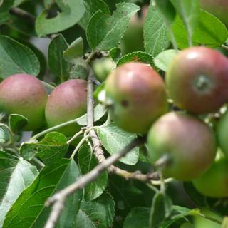 apple trees and apple pickin'