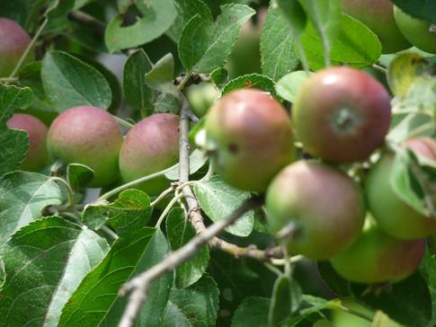 apple trees apple pickin'