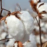natural-cotton-5-1293625-639x424.jpg