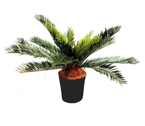 Cycand Plant