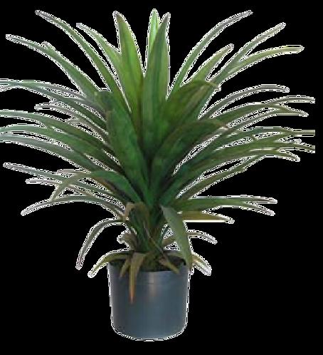 Yucca Head in Pot