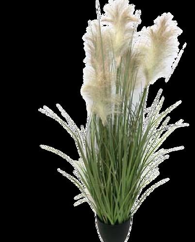 Pampas Grass in Pot