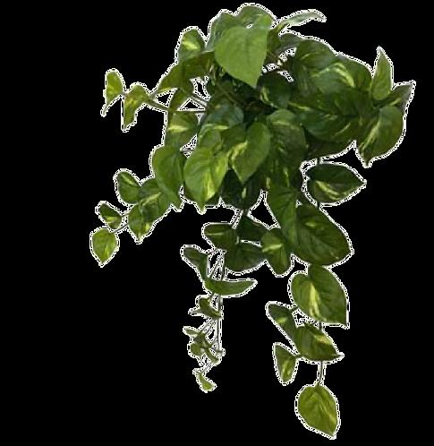 Pothos Hanging Bush