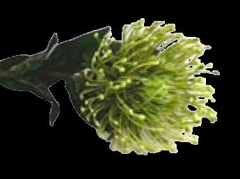 Pincushion Green