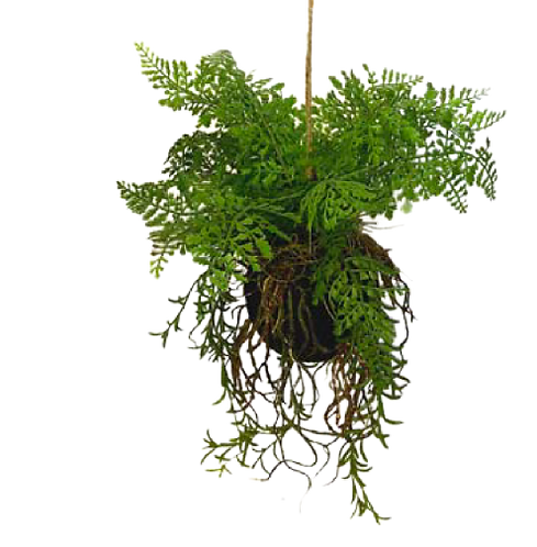 Fern Hanging Moss Ball with Roots