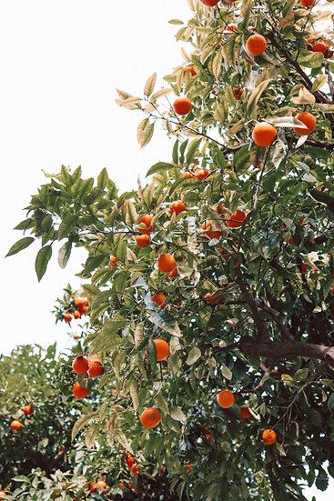 Barcelona Oranges