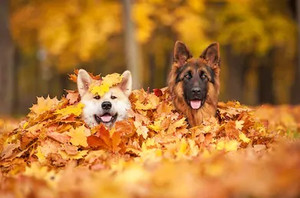 Fall Season Allergies in Dog