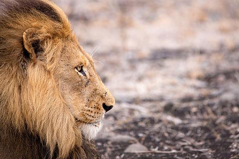 lion-4683920_1920.jpg