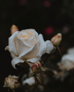 hillaryk_photography_rose_3.jpg