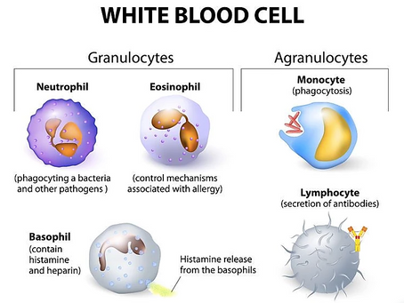 All About White Blood Cells