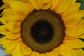 Photograph of Sunflower