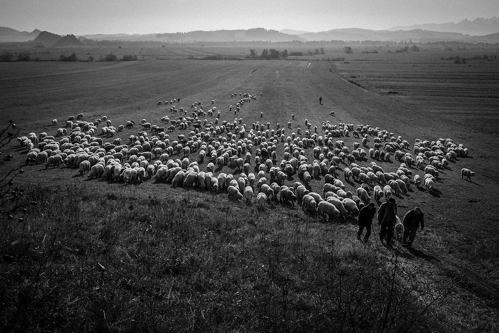 shepherds-4944.jpg