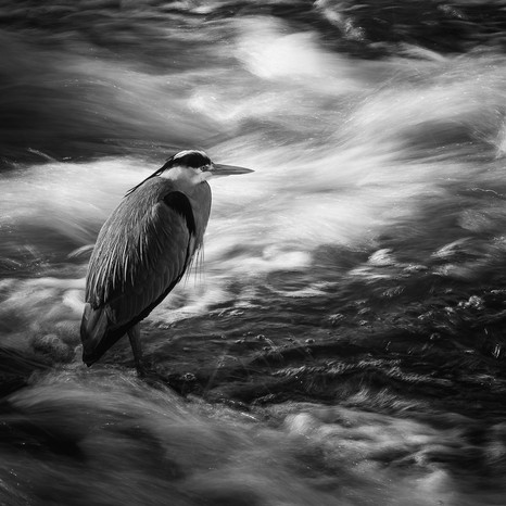 MONO: 'Heron on the Weir' by Colin Paul - Central Photographic Association