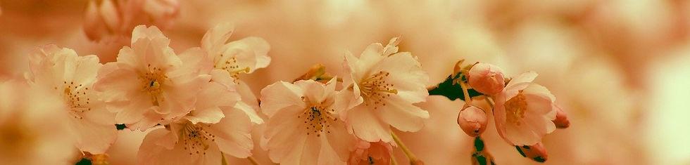 4月cherry-blossom-4085371_1280 (2).jpg