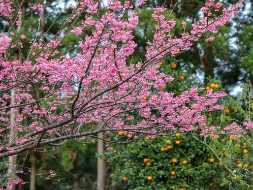 緋寒桜が咲き始めました♪