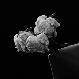 Dead roses in monochrome