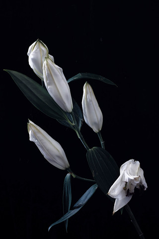 Untitled (Lillies in Moonlight #2)