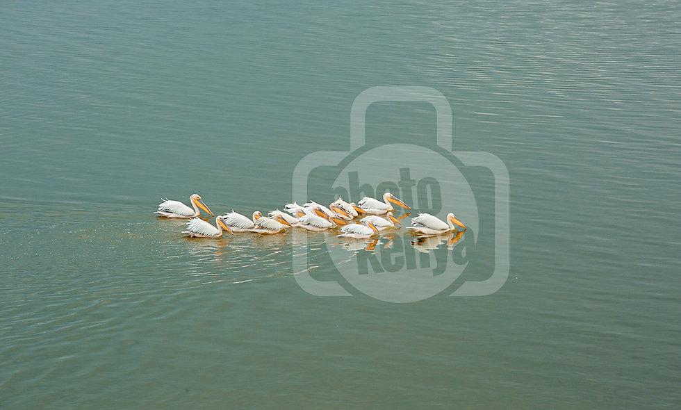 Print: Pelikans at Lake Elementaita (SMN)