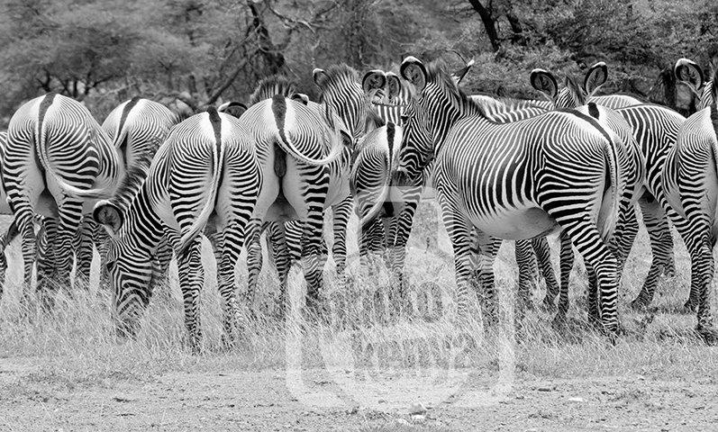 Print: Gravy Zebras in Samburu (SMN)