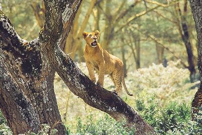 Evans Ogeto-Lake Nakuru Lion-PAK.jpg